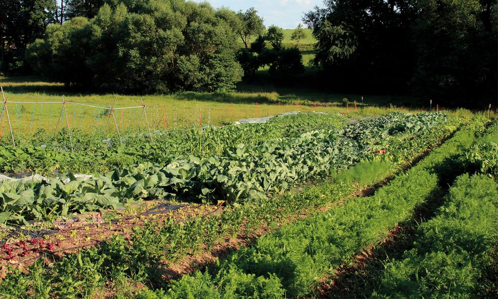 Gemüse-Feld