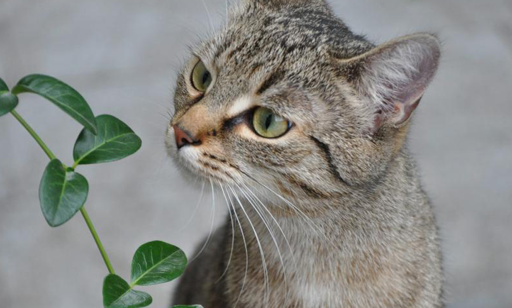 Die Saba-Hof-Katze