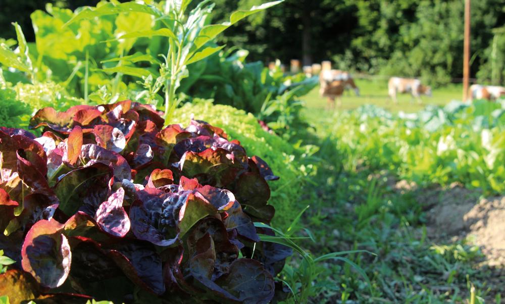 Salat am Feld